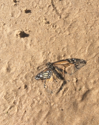 Monarch butterfly partially buried in sand